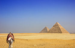 Camel in the desert with the pyramids of Giza. Camel in the yellow desert sand with the pyramids of Giza-Egypt Stock Photo