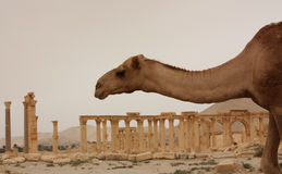 Camel in desert ruins of Palmyra. A camel passes by the ruins of Palmyra, the old Syrian city, once a florid oasis in the desert royalty free stock photo