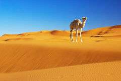 Camel in the desert Royalty Free Stock Image