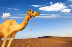 Camel and desert sand dunes panoramic landscape. Adventure travel tourism journey background Royalty Free Stock Image