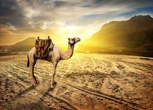 Camel in desert. Camel in sandy desert near mountains at sunset royalty free stock image