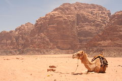 Camel in desert. Camel sits in desert in Wadi Rum Jordan Royalty Free Stock Image