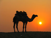 A camel in the desert at sunset. Sam Sand Dunes near Jaisalmer, India Royalty Free Stock Photo