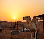 The camel in desert during sunset Stock Photography