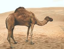 Camel in the desert. royalty free stock images