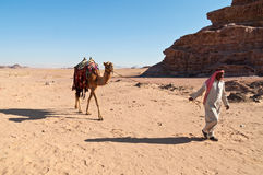 Camel in the desert Stock Images