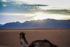 Camel. Desert camel is watching a sunset Royalty Free Stock Images
