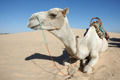 Camel. Douz, Kebili, Tunisia - September 17, 2012 : Beduins leading tourists on camels at the Sahara desert. Camels are resting during break time on September 17 Royalty Free Stock Photos
