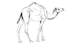 Camel drawn in ink by hand in full growth Royalty Free Stock Photos