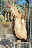 Camel drinking cola in Tozeur Zoo Royalty Free Stock Images