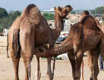 Camel drinking milk from mom`s udder royalty free stock images