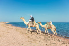 Camel driver Stock Images