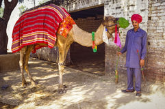 Camel with Driver in Punjab, India Stock Photography