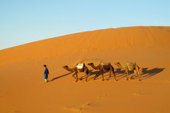 Camel driver with three camels in sand desert Stock Image