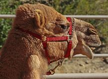 Camel. Dromedary camel close up portrait with harness Royalty Free Stock Photography