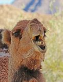 Camel. Dromedary camel close up portrait showing teeth Stock Photo