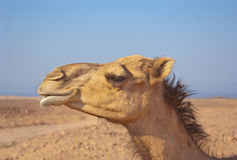 Camel dromedary profile in the desert blue sky in the background Royalty Free Stock Images