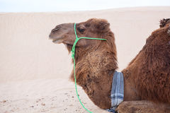 Camel dromedary in profile at rest in desert Stock Photo