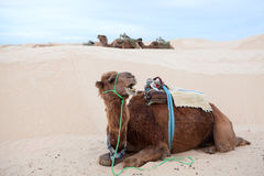 Camel dromedary on sand Royalty Free Stock Photo