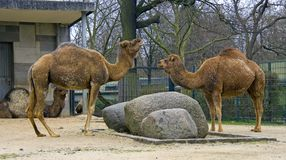 Camel dromedary symbol ruminant Asia Stock Image