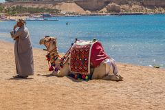 Camel with a drover on the beach. Travel, the month of May, Egypt Red Sea views Stock Photography