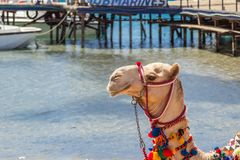 Camel with a drover on the beach Stock Image