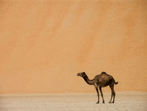 Camel and a dune. Camel standing in front of high dune stock photography