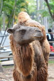 Camel. In dusit zoo,thailand Stock Photos