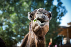 Camel eating Stock Photography