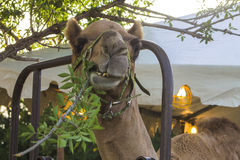 Camel Eating a branch Royalty Free Stock Photo
