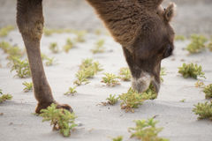 Camel is eating cactus Royalty Free Stock Images