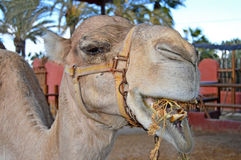 A Camel Eating Stock Image