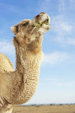 Camel Eating In Field Against Sky Royalty Free Stock Photos