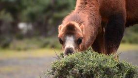 Camel eating grass close up stock footage