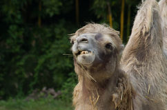 Camel eating grass Royalty Free Stock Photography