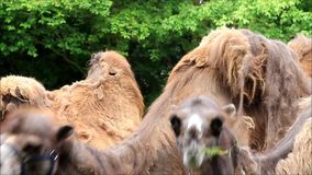 Camel eating grass and looking. Two camels eating grass and looking stock video