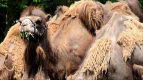 Camel eating grass and looking. Two camels eating grass and looking stock footage
