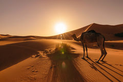 Camel eating grass at sunrise, Erg Chebbi, Morocco. Image of the side of an camel eating some grass during a beautiful sunrise at the desert Erg Chebbi in Royalty Free Stock Photos
