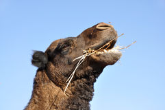 Camel eating hay Royalty Free Stock Images