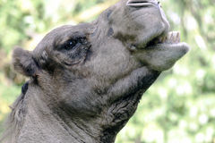 Camel eating head shot side view. Photo of a camel taken while eating at the zoo Royalty Free Stock Photos