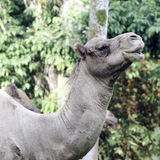 Camel eating head shot side view. Photo of a camel taken while eating at the zoo Royalty Free Stock Images