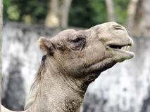 Camel eating head shot side view. Photo of a camel taken while eating at the zoo Stock Image