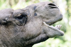 Camel eating head shot side view. Photo of a camel taken while eating at the zoo Royalty Free Stock Image