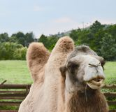 a camel eating in nature stock images