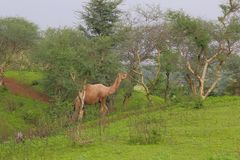 Camel in forest. The camel is eating tree leaves in the forest. the camel is often found in the desert but it is also sometimes found in the mountainous and stock images