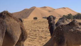Camel eating wheat from hay and chomping in Desert with sand dunes on background. 4k UHD stock footage