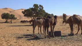 Camel eating wheat from hay and chomping in Desert with sand dunes on background. 4k UHD stock video footage