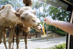 Camel eats carrot at zoo Stock Images