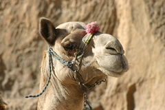 Camel in Egypt Stock Photos