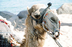 Camel in Egypt. Camel using for tourist rides in Taba, Egypt Royalty Free Stock Images